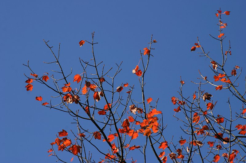 Autumn blue sky with red leaves    (click for previous picture)