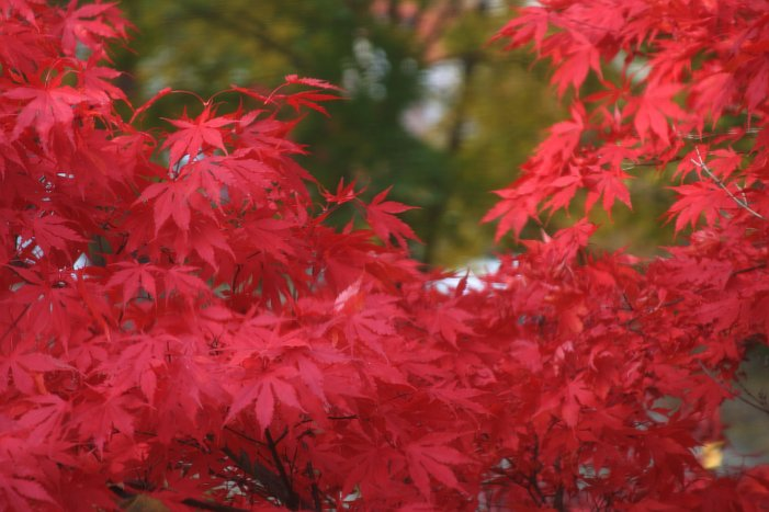 Red leaves    (click for previous picture)