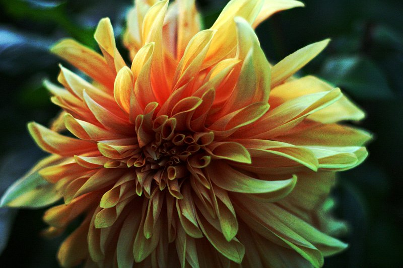 Zinnia Yellow    (click for previous picture)